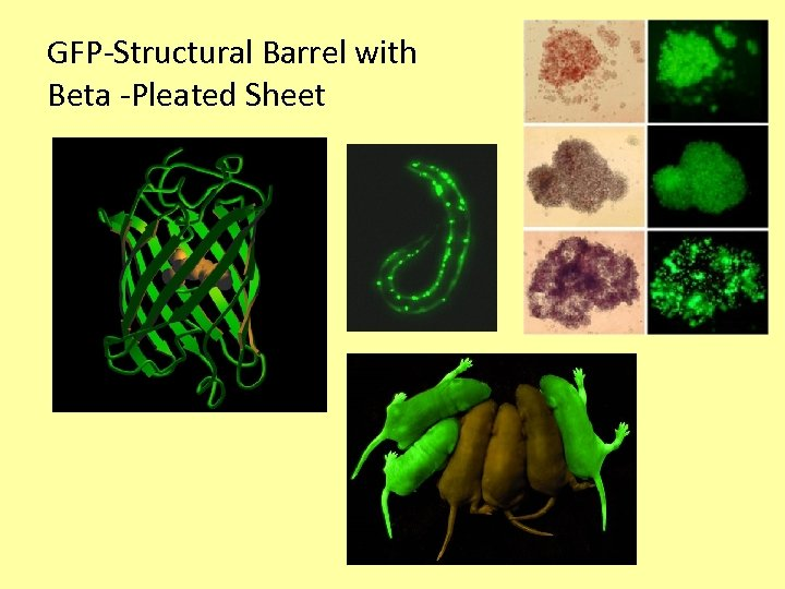 GFP-Structural Barrel with Beta -Pleated Sheet