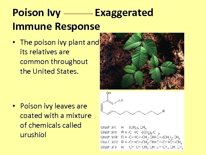 Poison Ivy Exaggerated Immune Response • The poison ivy plant and its relatives are