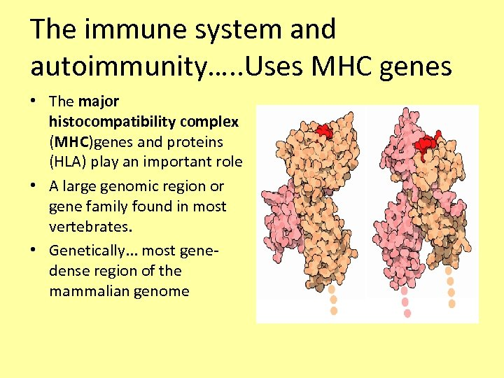 The immune system and autoimmunity…. . Uses MHC genes • The major histocompatibility complex