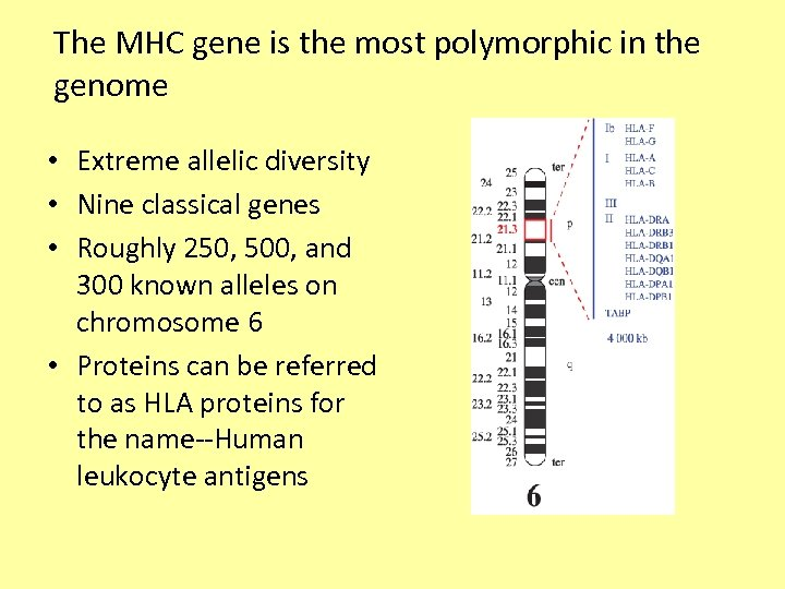 The MHC gene is the most polymorphic in the genome • Extreme allelic diversity