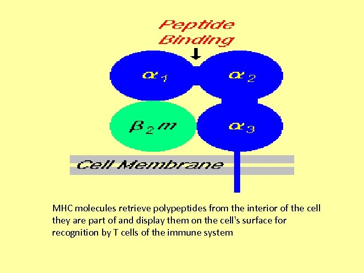 MHC molecules retrieve polypeptides from the interior of the cell they are part of