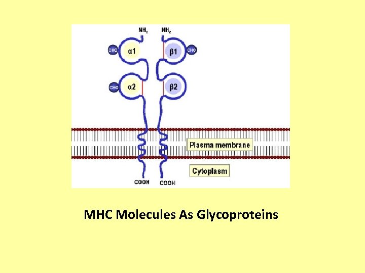 MHC Molecules As Glycoproteins