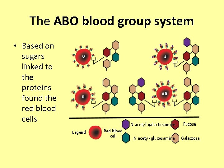 The ABO blood group system • Based on sugars linked to the proteins found