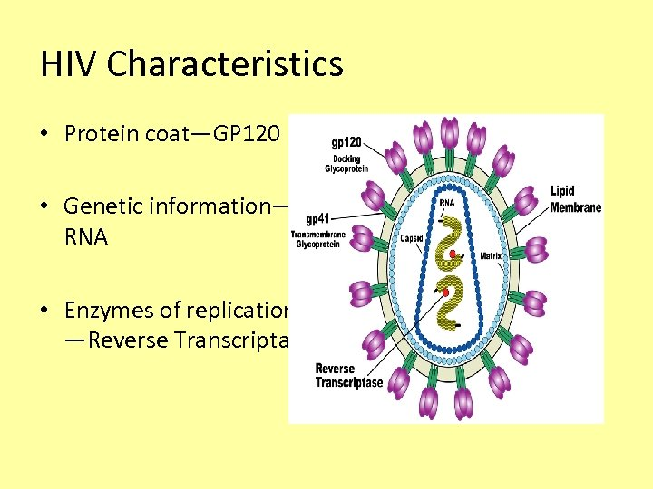 HIV Characteristics • Protein coat—GP 120 • Genetic information— RNA • Enzymes of replication