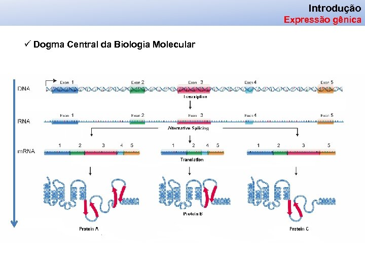 Introdução Expressão gênica ü Dogma Central da Biologia Molecular