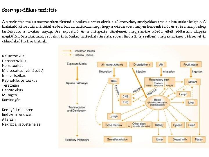 Szervspecifikus toxicitás A xenobiotikumok a szervezetben történő eloszlásuk során elérik a célszerveket, amelyekben toxikus