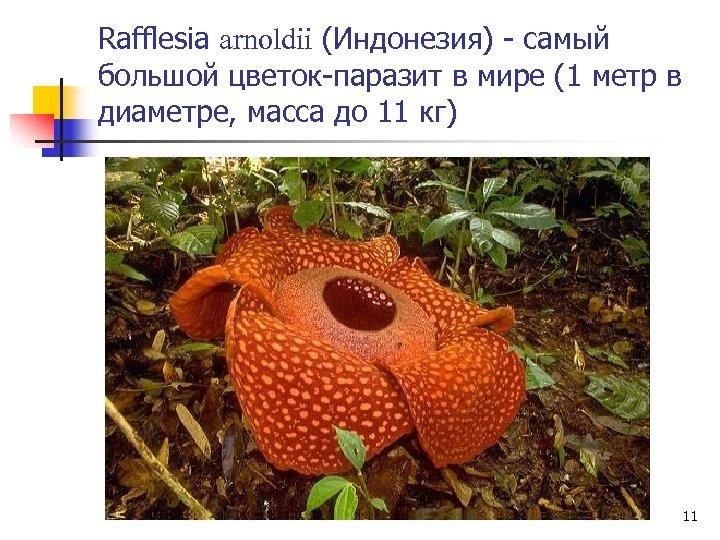 Rafflesia arnoldii (Индонезия) - самый большой цветок-паразит в мире (1 метр в диаметре, масса