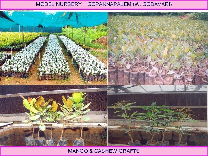 MODEL NURSERY – GOPANNAPALEM (W. GODAVARI) MANGO & CASHEW GRAFTS
