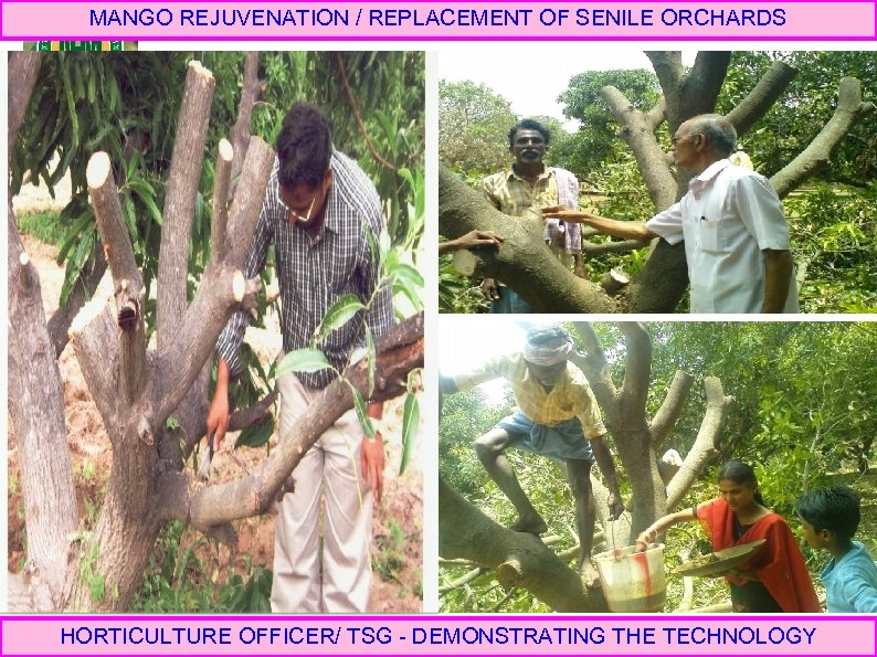 MANGO REJUVENATION / REPLACEMENT OF SENILE ORCHARDS HORTICULTURE OFFICER/ TSG - DEMONSTRATING THE TECHNOLOGY