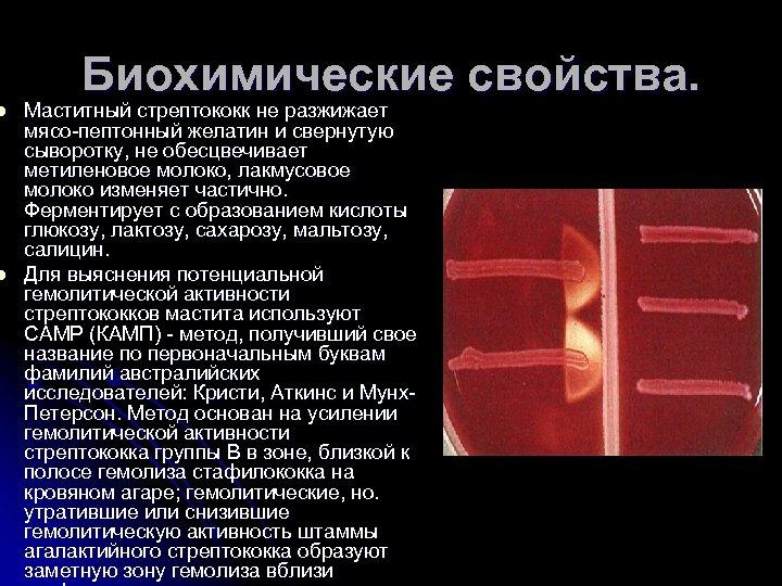 l l Биохимические свойства. Маститный стрептококк не разжижает мясо пептонный желатин и свернутую сыворотку,