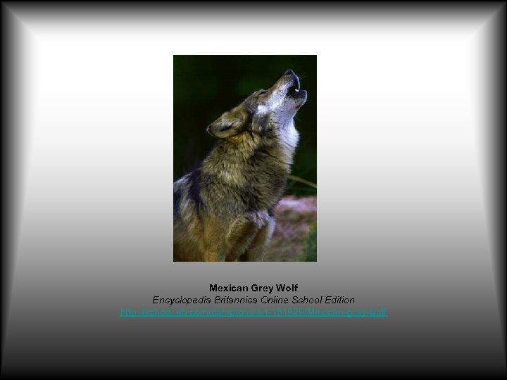 Mexican Grey Wolf Encyclopedia Britannica Online School Edition http: //school. eb. com/comptons/art-151929/Mexican-gray-wolf