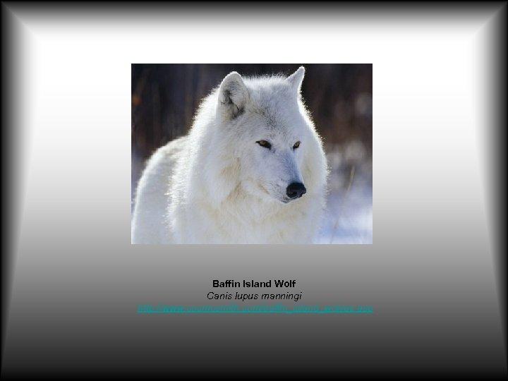 Baffin Island Wolf Canis lupus manningi http: //www. cosmosmith. com/baffin_island_wolves. asp