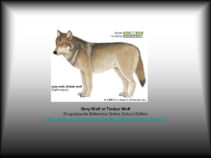 Grey Wolf or Timber Wolf Encyclopedia Britannica Online School Edition http: //school. eb. com/comptons/art-89015/Gray-wolf-or-timber-wolf