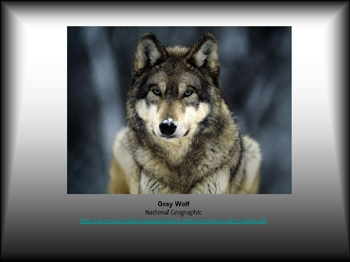 Gray Wolf National Geographic http: //animals. nationalgeographic. com/animals/mammals/wolf/