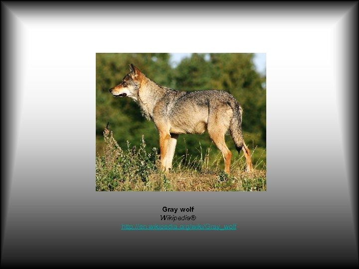 Gray wolf Wikipedia® http: //en. wikipedia. org/wiki/Gray_wolf