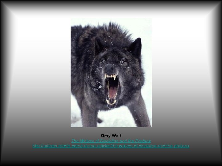 Gray Wolf The Wolves of Discipline and the Phalanx http: //articles. elitefts. com/training-articles/the-wolves-of-discipline-and-the-phalanx