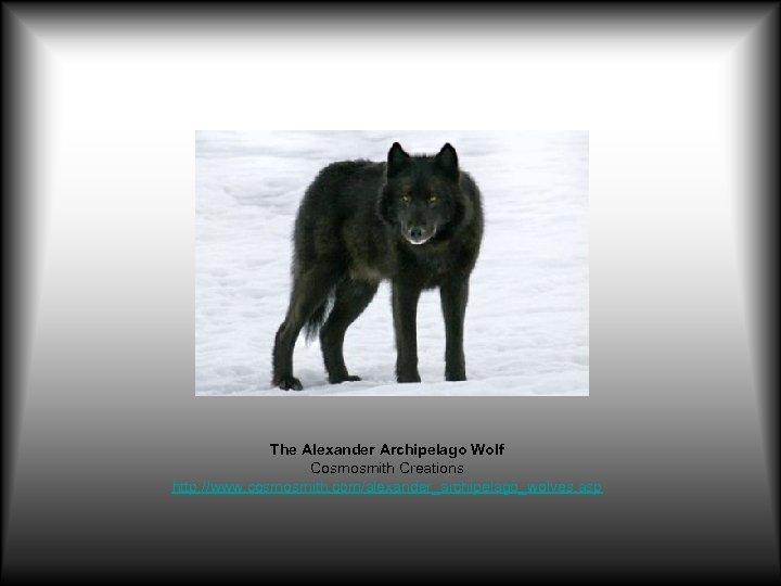 The Alexander Archipelago Wolf Cosmosmith Creations http: //www. cosmosmith. com/alexander_archipelago_wolves. asp