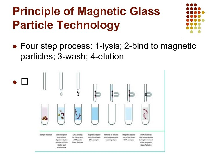 Principle of Magnetic Glass Particle Technology l Four step process: 1 -lysis; 2 -bind