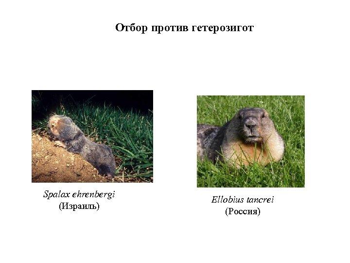 Отбор против гетерозигот Spalax ehrenbergi (Израиль) Ellobius tancrei (Россия)