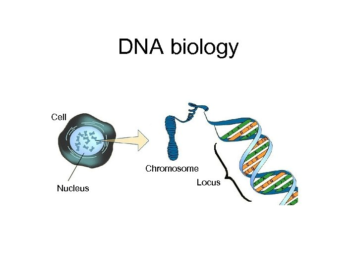 DNA biology Cell Chromosome Nucleus Locus