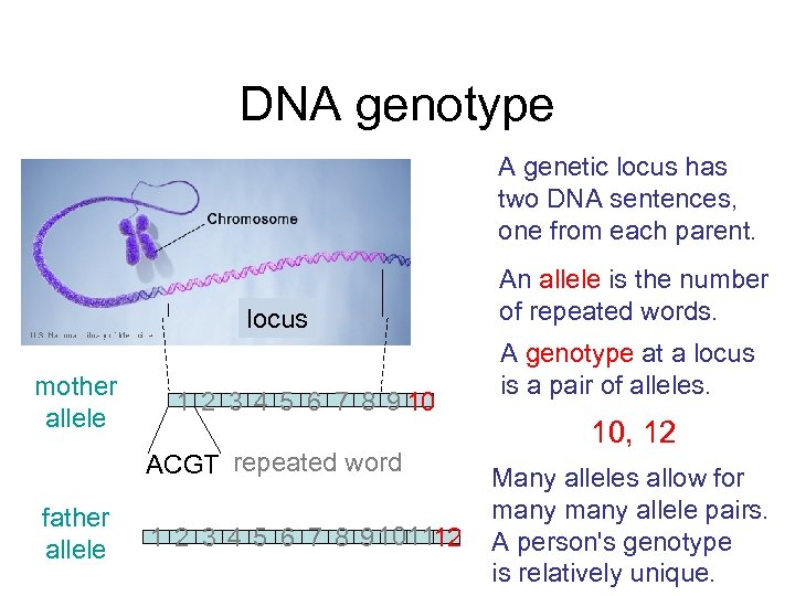 DNA genotype A genetic locus has two DNA sentences, one from each parent. locus
