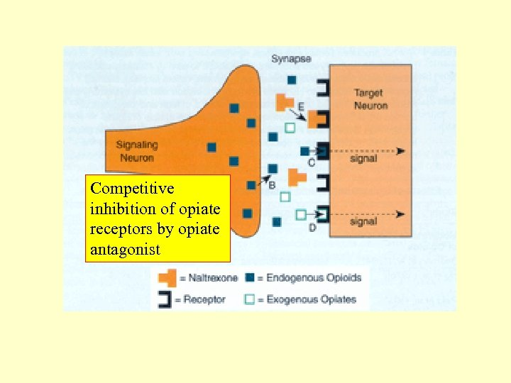 Competitive inhibition of opiate receptors by opiate antagonist