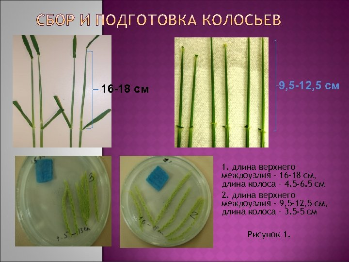 9, 5 -12, 5 cм 16 -18 cм 1. длина верхнего междоузлия – 16
