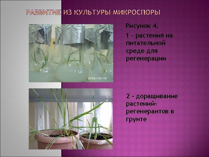 Рисунок 4. 1 – растения на питательной среде для регенерации 2 - доращивание растенийрегенерантов