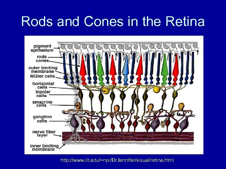 Rods and Cones in the Retina http: //www. iit. edu/~npr/Dr. Jennifer/visual/retina. html
