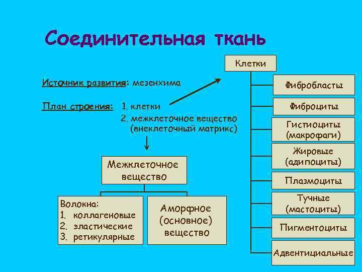 Соединительная ткань Клетки Источник развития: мезенхима План строения: 1. клетки 2. межклеточное вещество (внеклеточный