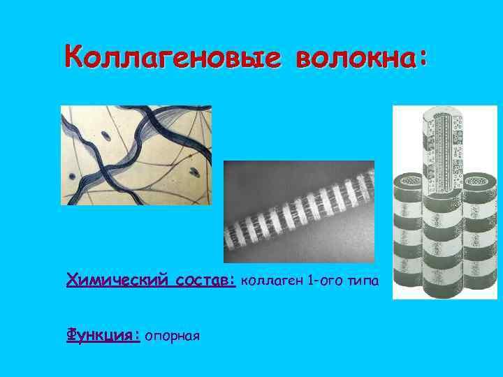 Коллагеновые волокна: Химический состав: коллаген 1 -ого типа Функция: опорная