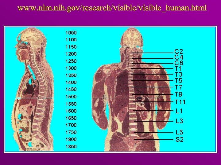 www. nlm. nih. gov/research/visible_human. html