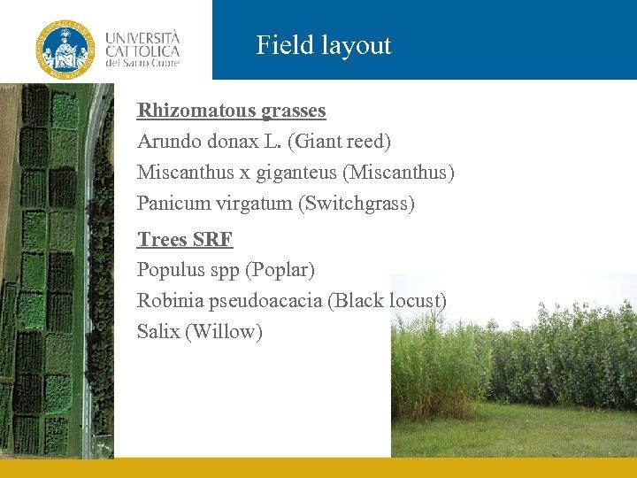 Field layout Rhizomatous grasses Arundo donax L. (Giant reed) Miscanthus x giganteus (Miscanthus) Panicum