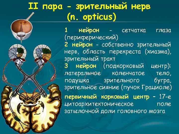 II пара - зрительный нерв (n. opticus) 1 нейрон сетчатка глаза (периферический) 2 нейрон