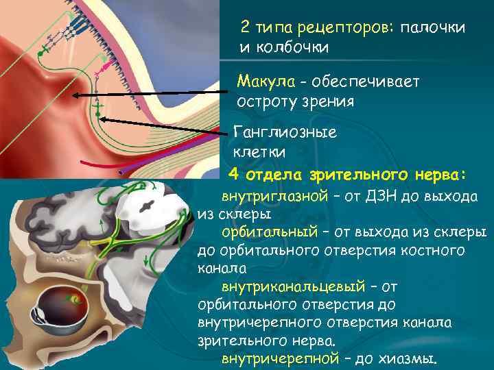 2 типа рецепторов: палочки и колбочки Макула - обеспечивает остроту зрения Ганглиозные клетки 4