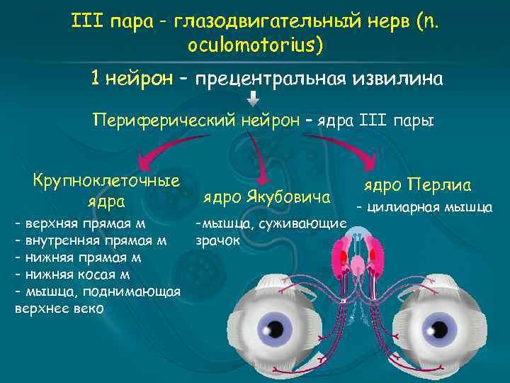 III пара - глазодвигательный нерв (n. oculomotorius) 1 нейрон – прецентральная извилина Периферический нейрон