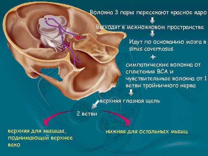 Волокна 3 пары пересекают красное ядро Выходят в межножковом пространстве Идут по основанию мозга