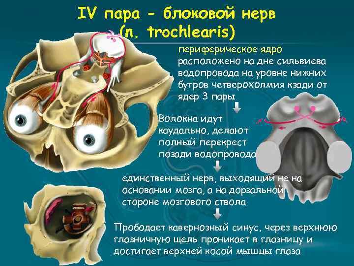 IV пара - блоковой нерв (n. trochlearis) периферическое ядро расположено на дне сильвиева водопровода