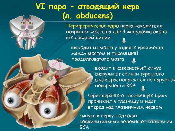 VI пара - отводящий нерв (n. abducens) Периферическое ядро нерва находится в покрышке моста