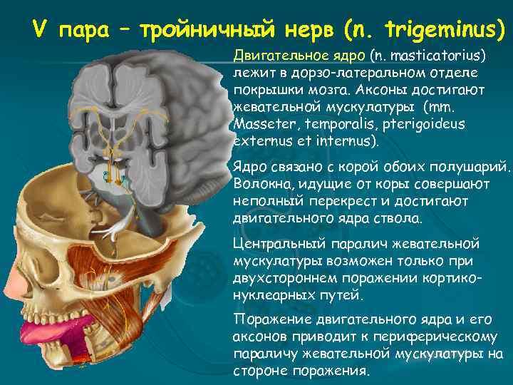 V пара – тройничный нерв (n. trigeminus) Двигательное ядро (n. masticatorius) лежит в дорзо-латеральном