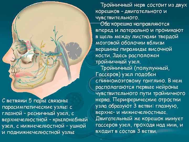 С ветвями 5 пары связаны парасимпатические узлы: с глазной – ресничный узел, с верхнечелюстной