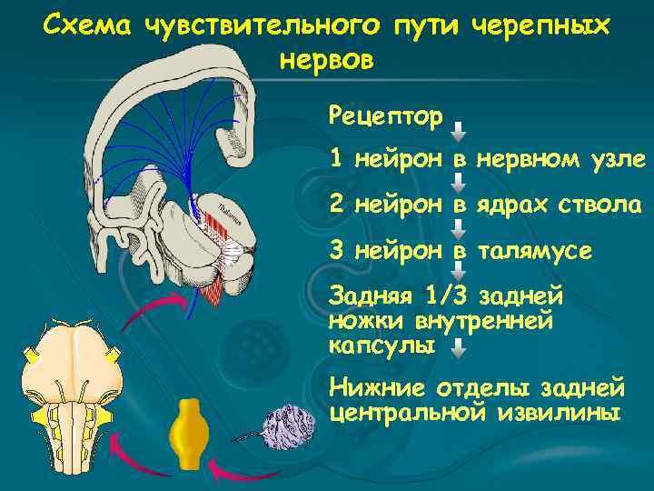 Схема чувствительного пути черепных нервов Рецептор 1 нейрон в нервном узле 2 нейрон в