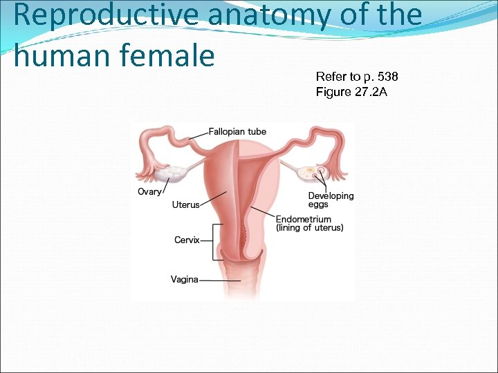 Reproductive anatomy of the human female Refer to p. 538 Figure 27. 2 A