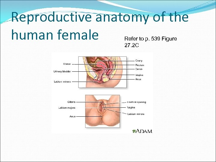 Reproductive anatomy of the human female Refer to p. 539 Figure 27. 2 C