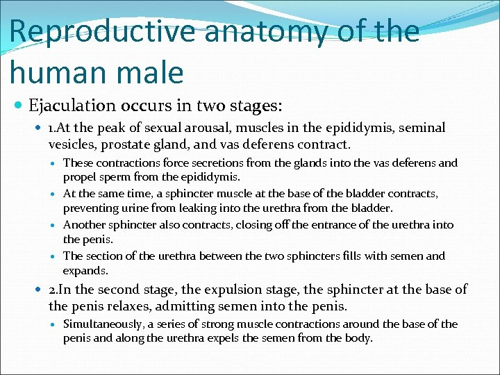 Reproductive anatomy of the human male Ejaculation occurs in two stages: 1. At the