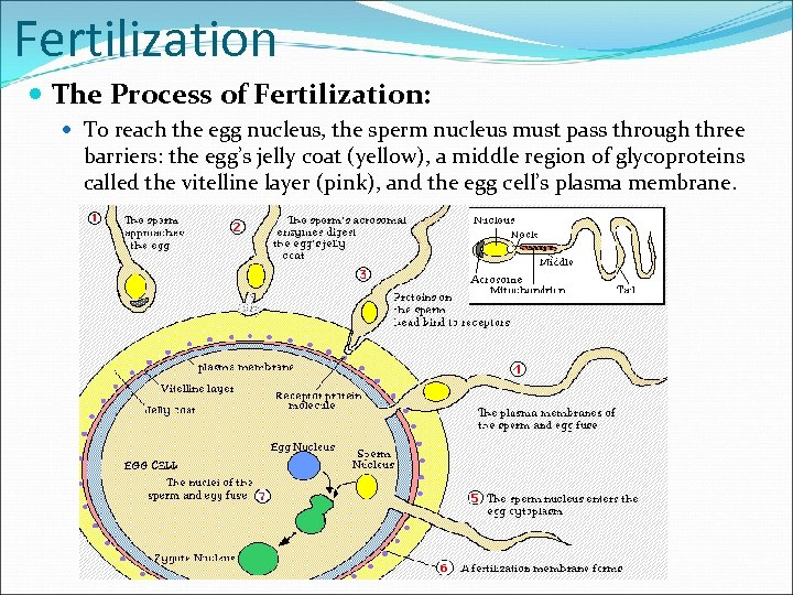 Fertilization The Process of Fertilization: To reach the egg nucleus, the sperm nucleus must