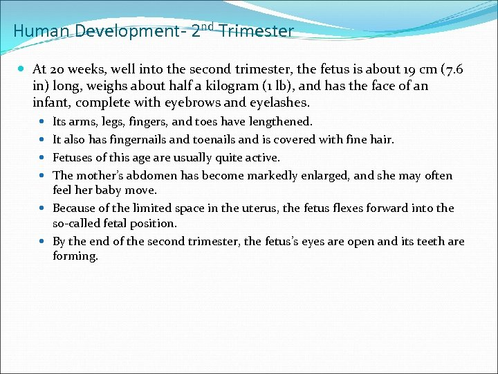 Human Development- 2 nd Trimester At 20 weeks, well into the second trimester, the