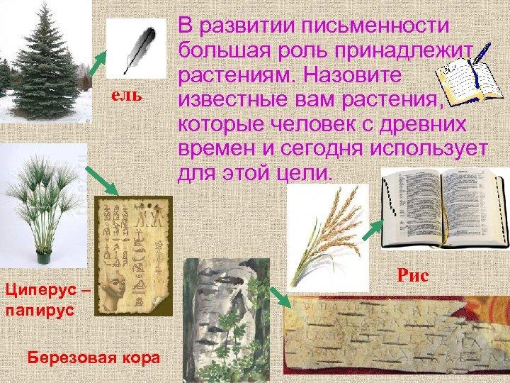 • ель Циперус – папирус Березовая кора В развитии письменности большая роль принадлежит