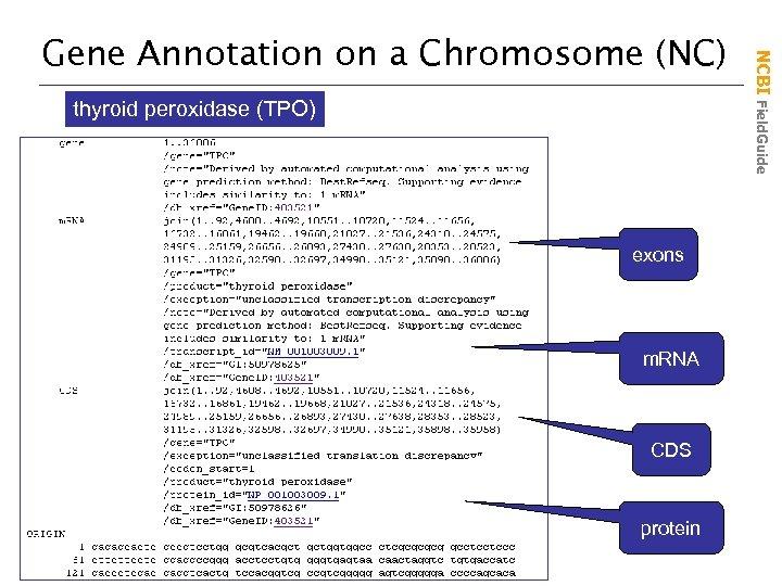 thyroid peroxidase (TPO) exons m. RNA CDS protein NCBI Field. Guide Gene Annotation on
