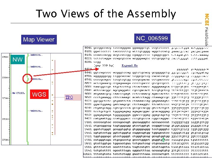Map Viewer NW WGS NC_006599 NCBI Field. Guide Two Views of the Assembly